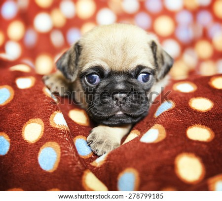 a cute chug pug puppy in a polka dot blanket looking at the camera  - stock photo