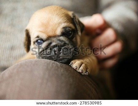 a cute chug pug puppy on a lap being petted looking at the camera (SHALLOW DOF on the nose)  - stock photo