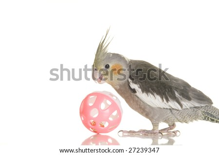 A cute cockatiel plays with a pink ball. White background. - stock photo