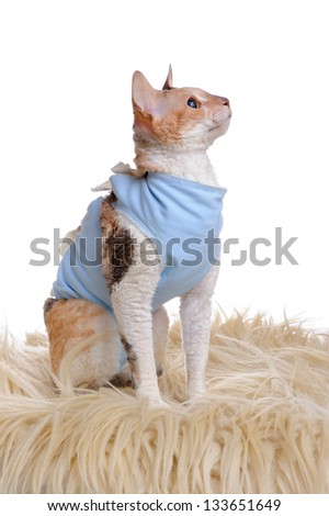 A cute Cornish Rex cat wearing a medical pet shirt after surgery against a white background - stock photo