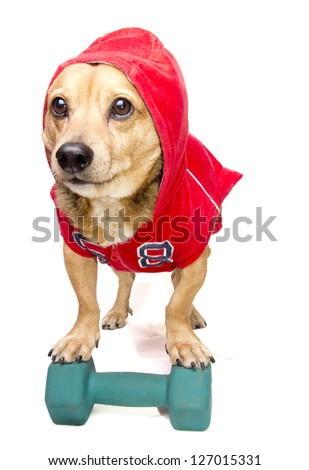 a cute dachshund in sweatshirt - stock photo
