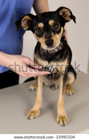 A cute dog getting a check at the vet's office - stock photo