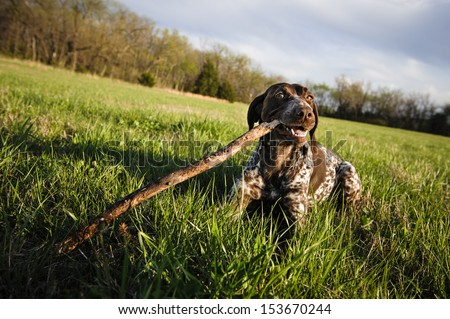 a cute dog in a field, chewing on a stick