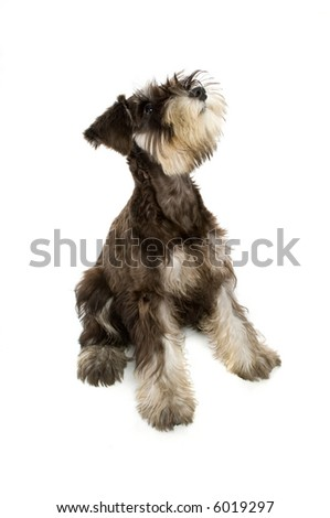 A cute dog jumping for a play toy - stock photo