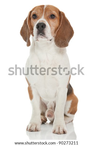 a cute dog of the beagle breed - stock photo