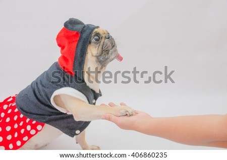 A cute dog puppy pug wearing dress hood sitting against a grey background and shaking hands with a woman - stock photo