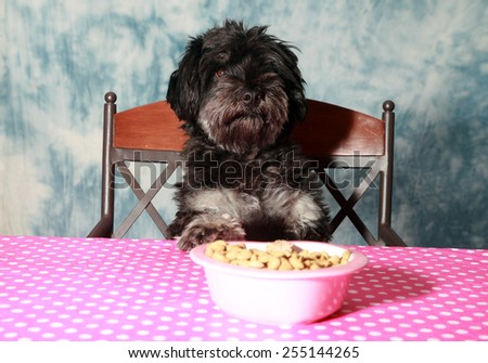 A cute dog sits at the kitchen table and waits to be served dinner. - stock photo