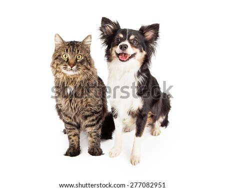 A cute domestic medium hair tabby cat sitting next to a happy longhair Chihuahua mixed breed dog. - stock photo