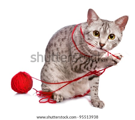 A cute Egyptian Mau cat plays with a red ball of yarn. - stock photo