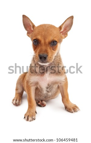A cute eight week old puppy isolated on white and looking at the camera