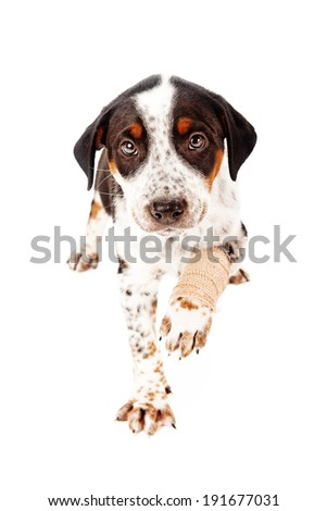A cute eight week old puppy with an injured leg in a bandage looking at camera and extending paw out - stock photo