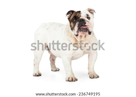 A cute English Bulldog Standing and looking forward - stock photo