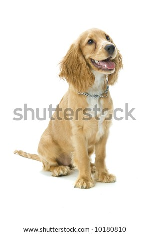 A cute English cocker spaniel in the studio - stock photo