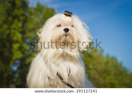 A cute female maltese dog - stock photo