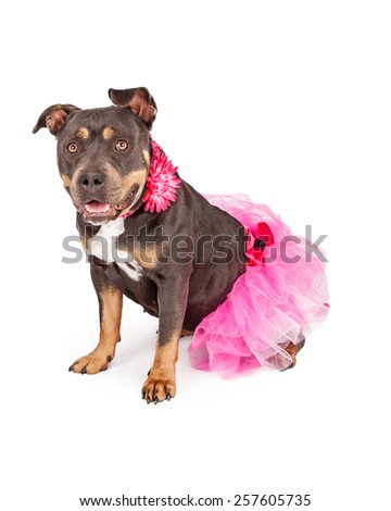A cute female tri-color Pit Bull dog wearing a pink tutu and flower collar - stock photo