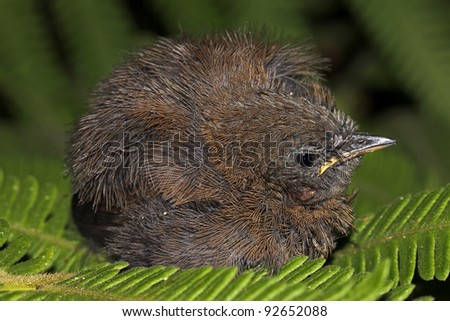 A cute fledgling bird sleeps on a fern in the Peruvian Amazon