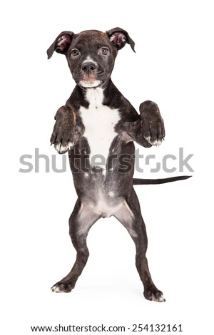 A cute four month old Staffordshire Bull Terrier Puppy Mixed Breed Puppy standing on hind legs with paws up - stock photo