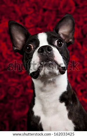 a cute french bulldog on a red rose background - stock photo