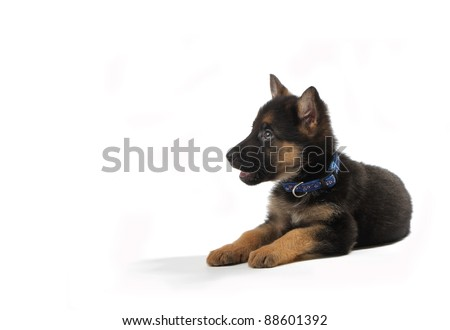 A cute german shepherd puppy. Isolated on white - stock photo