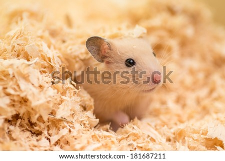 A cute golden hamster covered with wood chips - stock photo