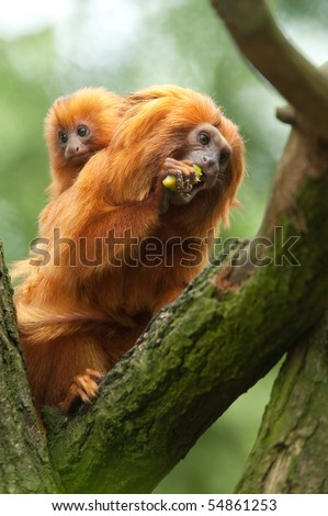 A cute golden lion tamarin mother and baby (Leontopithecus rosalia) - stock photo