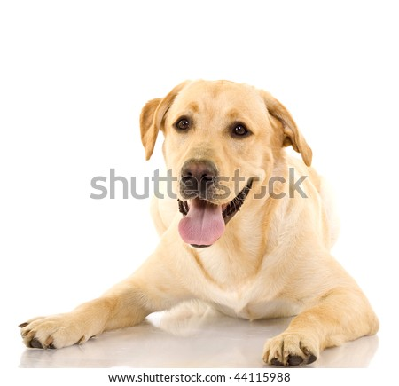 A cute golden retriever dog, isolated on a white studio background - stock photo