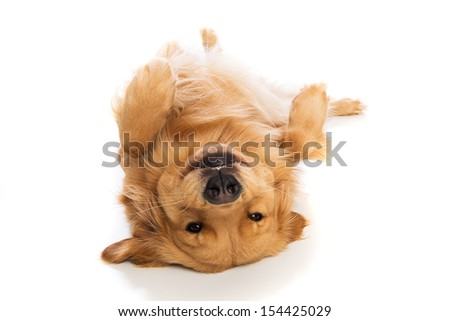 A cute Golden Retriever dog laying down on his back - stock photo