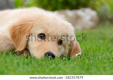 A cute Golden Retriever puppy resting in a meadow - stock photo