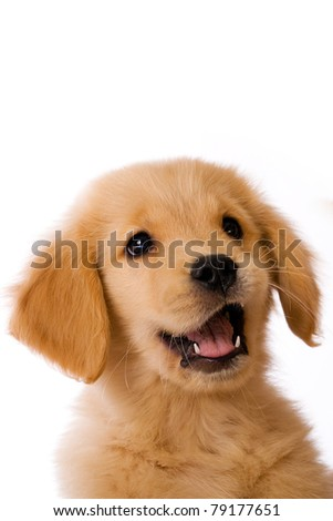 a cute Golden Retriever Puppy with an happy expression on his face. - stock photo