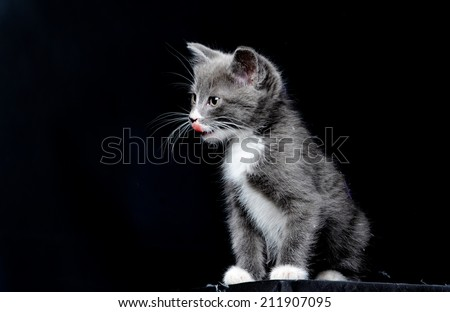 A cute grey kitten licking its lips on an isolated black background - stock photo