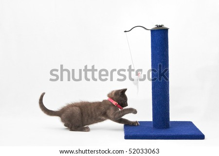A cute grey kitten playing with a blue scratching post with a toy mouse attached to a piece of string, on a white background.