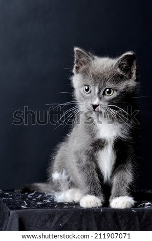 A cute grey kitten sitting on a black cloth on an isolated black background - stock photo