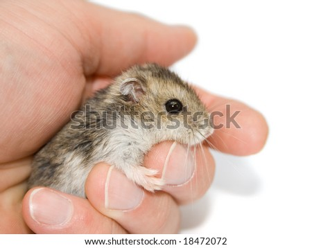 A cute hamster sitting on a palm.