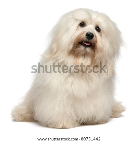 A cute happy sitting cream havanese male dog, isolated on white background