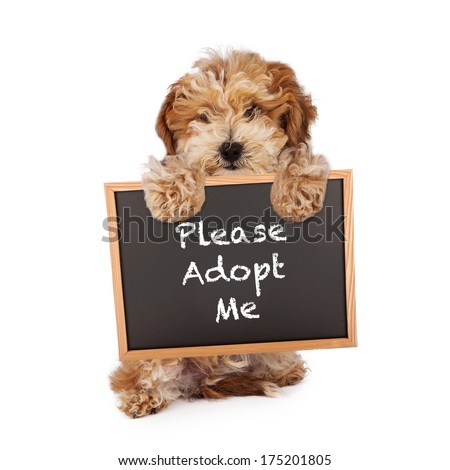 A cute Havanese and Poodle mix puppy holding a chalk board with the words Please Adopt Me - stock photo