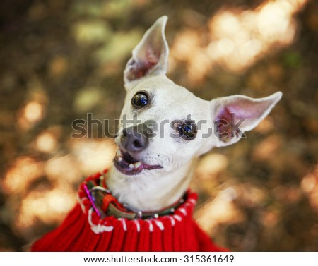 a cute italian greyhound dressed in a red sweater smiling at the camera in a park setting during later summer or early fall on a sunny day  - stock photo