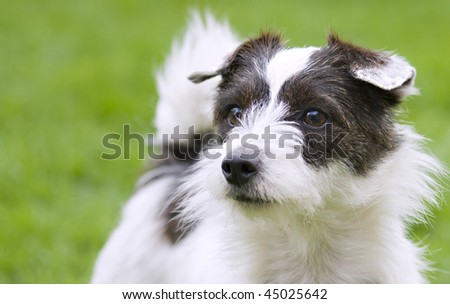 A cute Jack Russell terrier looking into the camera