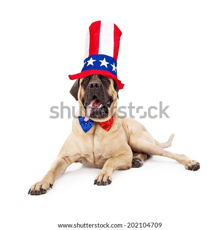 A cute large Mastiff dog laying against a white backdrop with his tongue hanging out and wearing a sparkly red, white and blue bow tie and a festive tall hat for the Fourth of July - stock photo