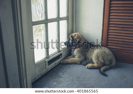A cute leonberger puppy is waiting by the door - stock photo