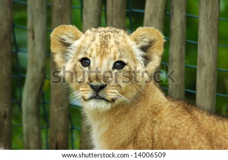 A cute lion cub head portrait watching in a game park in South Africa - stock photo