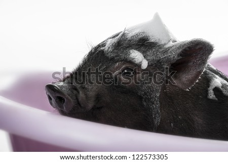 a cute little black piggy having bath