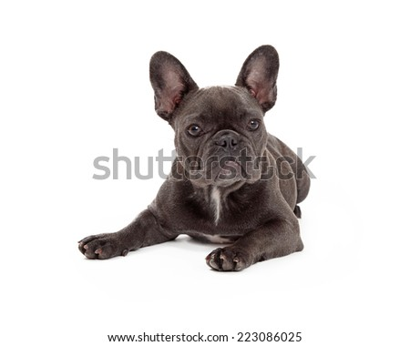 A cute little blue color  French Bulldog laying down - stock photo