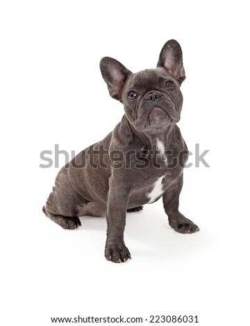A cute little blue color  French Bulldog sitting and looking forward - stock photo