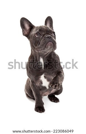 A cute little blue color  French Bulldog sitting with a paw raised up to wave or shake - stock photo