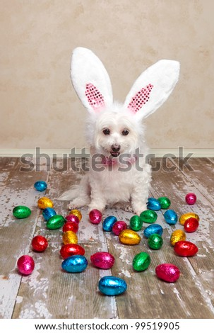 A cute little dog dressed as easter bunny looking down at lots of delicious foil wrapped chocolate easter eggs. - stock photo