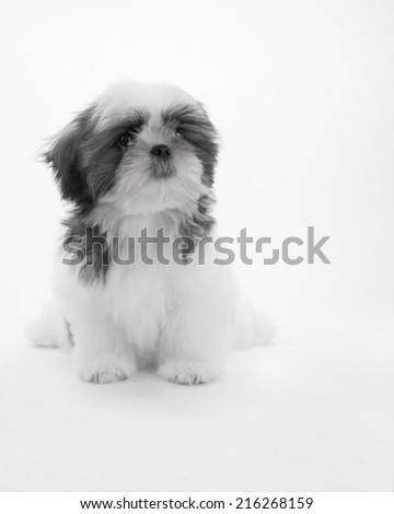 A cute little dog/Shih Tzu?little dog - stock photo