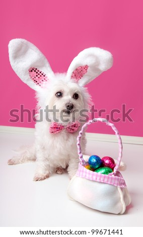 A cute  little dog with rabbit bunny ears sitting beside a bag of assorted easter eggs.  Pink background. - stock photo