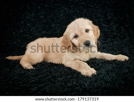 A cute little Goldendoodle puppy laying on a black background. - stock photo