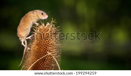 a cute little harvest mouse - stock photo