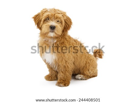 A cute little Havanese puppy sitting and looking forward - stock photo